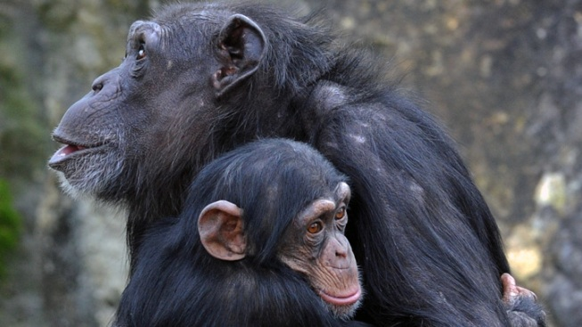 Lincoln Park Zoo Wants Career Builder Monkey Business to Stop