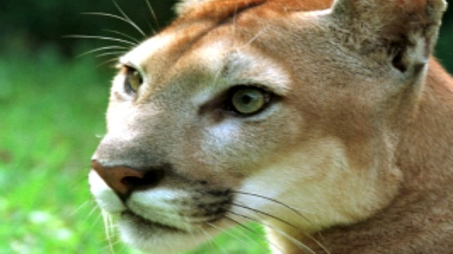 Possible Sighting of Mountain Lion in Suburbs