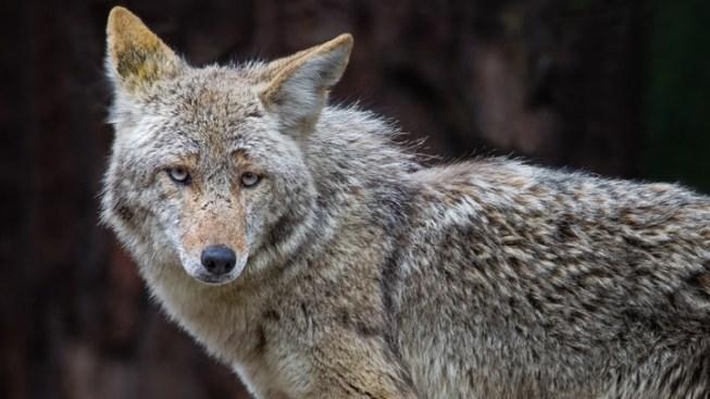Coyotes 100 Percent Monogamous, Study Says