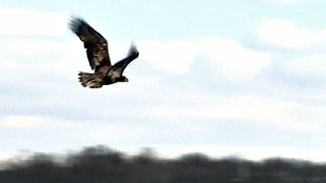 Conservation Police Ask for Help in Eagle Shooting