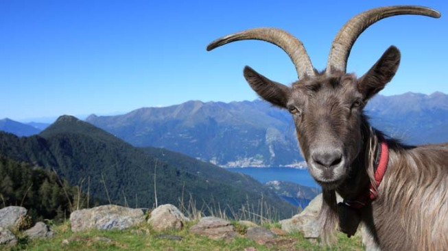 "Study: Goats Can Have ""Accents"""