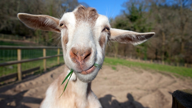Chicago Gets Goats to Graze at O'Hare
