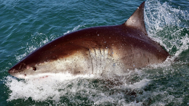 Great White Sharks Protected off Calif. Coast
