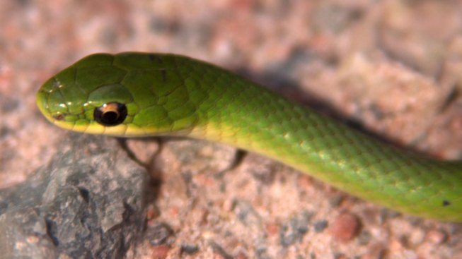 Six Rare Snakes Released in Lake County Forests