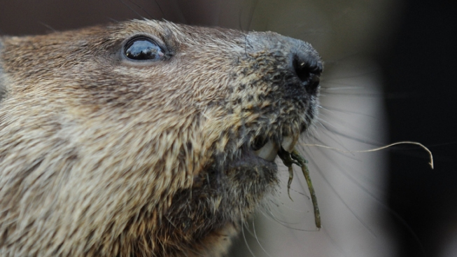 Groundhog Doesn't See His Shadow, Predicts Early Spring