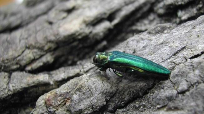 City to Mount Aggressive Battle Against Emerald Ash Borer