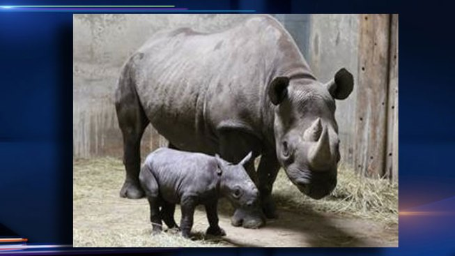 Endangered Rhino Born at Lincoln Park Zoo