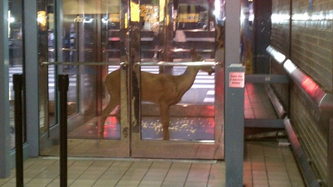 Deer Found at Ogilvie Transportation Center Sunday