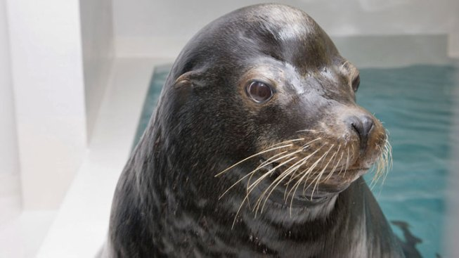 Shedd Officials Euthanize Sea Lion