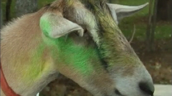 Decapitated Goat Found in Cook County Forest Preserve