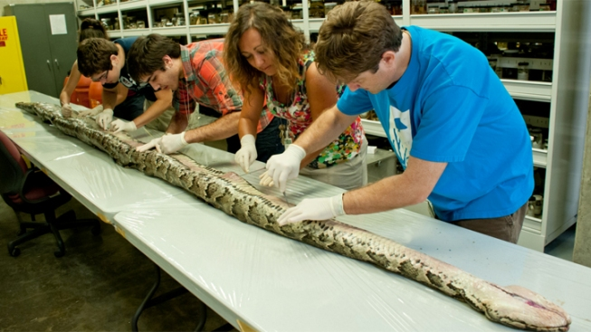 Largest Florida Burmese Python Caught in Everglades