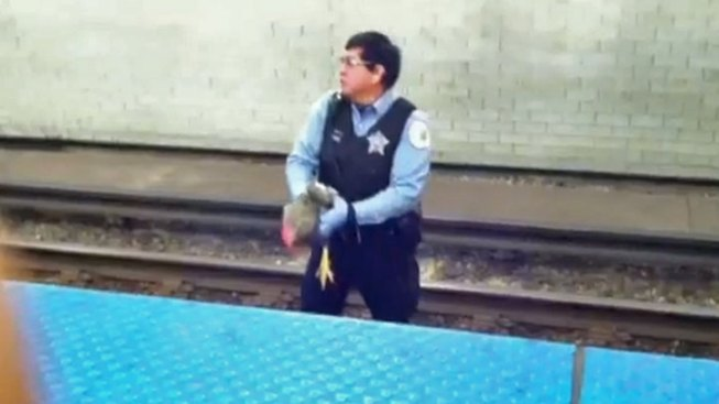 Rooster Rescued from Subway Tracks