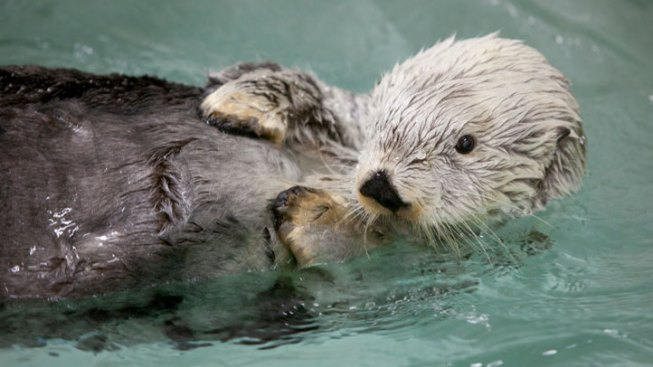 Shedd Euthanizes Otter Rescued From 1989 Exxon Valdez Oil Spill