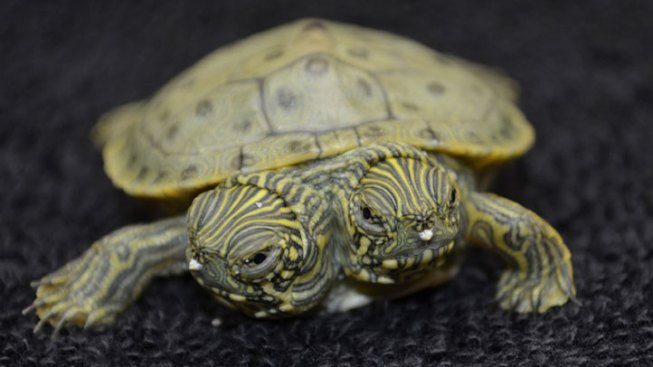 Two-Headed Turtle Gets Own Facebook Page