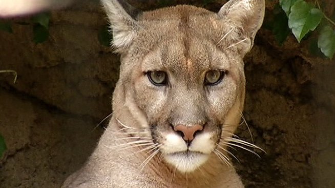 Animal thought to be a cougar was spotted around 8:30 p.m. Monday on the 1300 block of Willow Road near Winnetka's public works facility, police said. Christian Farr reports.