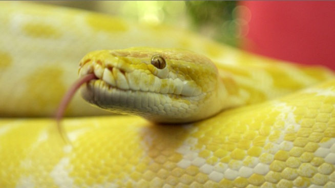 Snake Thief Stuffed Baby Boas in His Pants: Cops