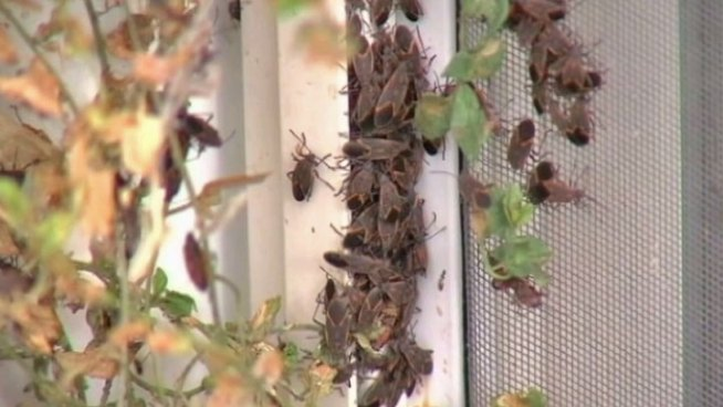 Experts say you shouldn't worry about the boxelder bugs, but that's little comfort for people whose homes have been covered or invaded by them for weeks. Lauren Jiggetts reports.