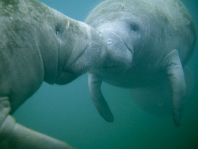 Manatee Orgy Caught on Tape