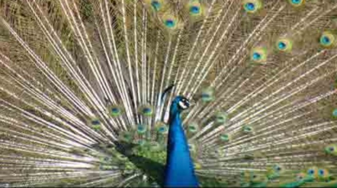 Lost Peacock Reunited With Owners