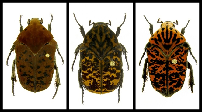 Professor Names Beetle Species After 'Game of Thrones'