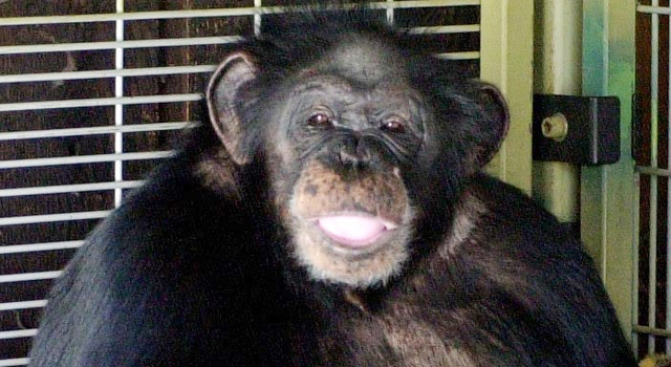 """You Have to Kill This Chimp,"" Owner Cries to 911"