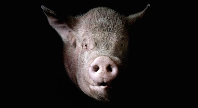 No Swine Flu in Illinois (Yet)