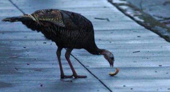 Wild Turkey Crashes Into Family's Home